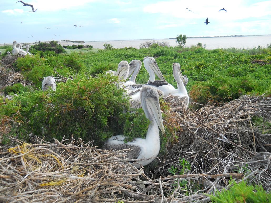 pelicanIsland-SusieKowlok