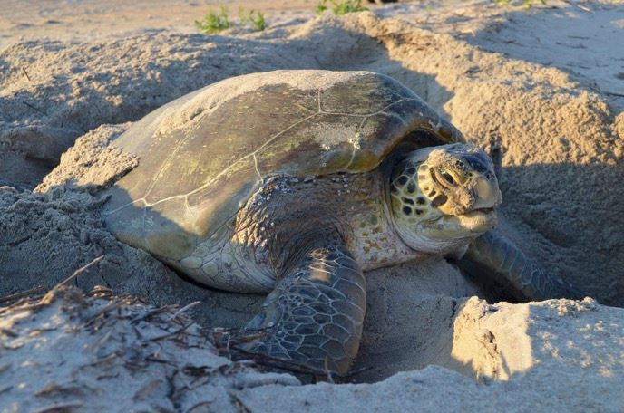 Learn About Sea Turtles With A Capoe Hatteras Ranger - Outer Banks Events Calendar